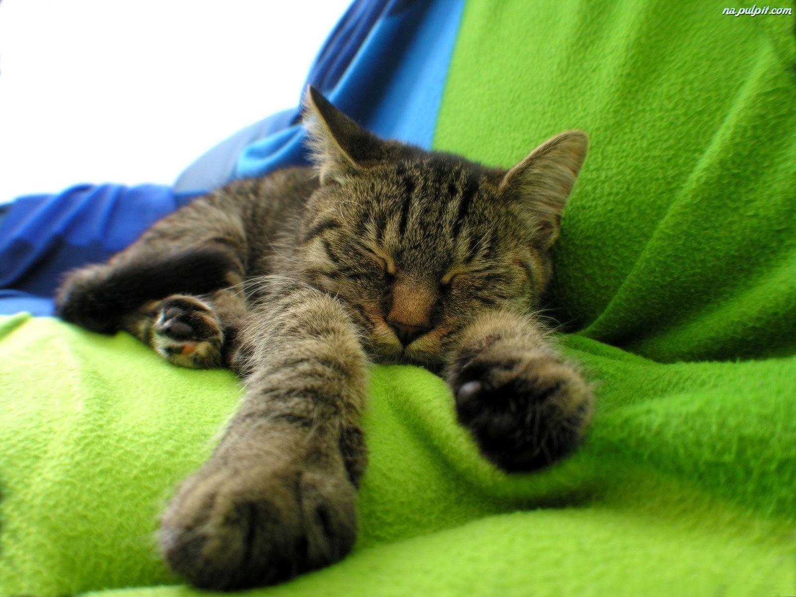 Śpiący, Kocurek Na Pulpit